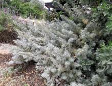 Artemisia abrotanum IMG_2099-001 (2)