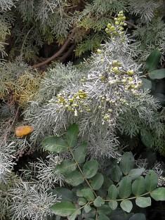 Artemisia abrotanum IMG_2101 (2)