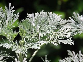 Artemisia arborescens IMG_2731 (2)