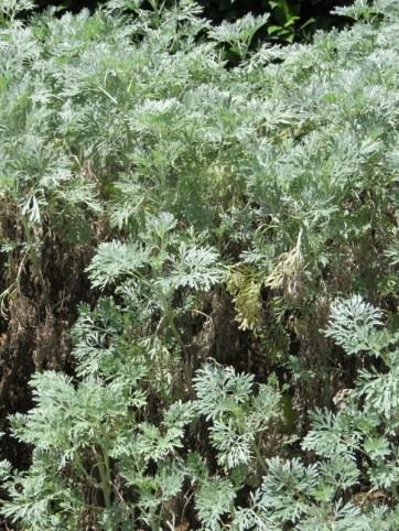Artemisia arborescens IMG_2733