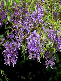 Bolusanthus speciosus IMG_2862-002
