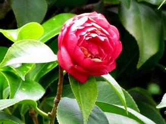 Camellia IMG_5751-002