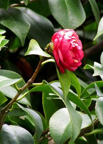 Camellia IMG_5752-002