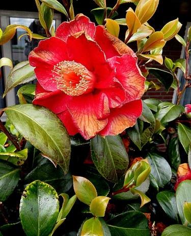 Camellia sasanqua_IMG_4978-002