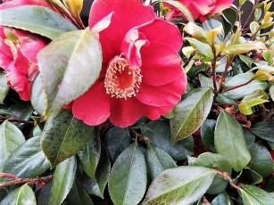 Camellia sasanqua_IMG_4979 (2)