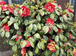 Camellia sasanqua_IMG_4980 (2)