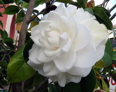 Camellia_IMG_8623-001