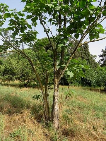 Catalpa bignonioides IMG_2894-002