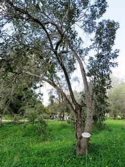 Corymbia ficifolia IMG_9460 (2)