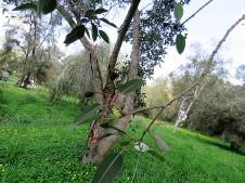 Corymbia ficifolia IMG_9461 (2)