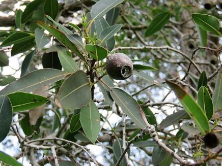 Corymbia ficifolia IMG_9463 (2)