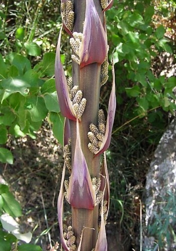 Dasylirion serratifolium IMG_1029 (2)