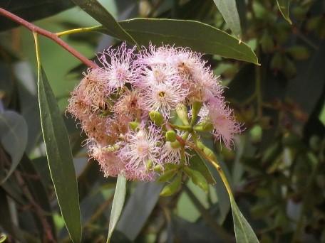 Eucalyptus calycogona IMG_2854 (2)
