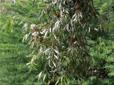 Eucalyptus calycogona IMG_2855 (2)