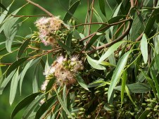 Eucalyptus calycogona IMG_2856-002