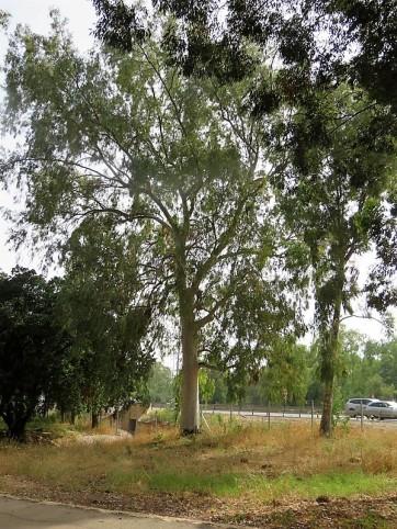 Eucalyptus dealbata IMG_2900 (2)