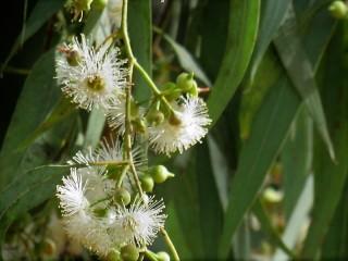 Eucalyptus dealbata IMG_2903 (3)