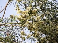 Eucalyptus gardneri IMG_3033 (2)