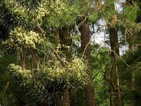 Eucalyptus gardneri IMG_3037-002 (2)