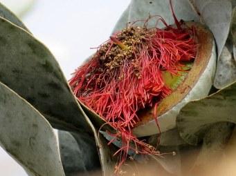 Eucalyptus macrocarpa IMG_2899-002