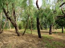 Eucalyptus microtheca IMG_3007-002