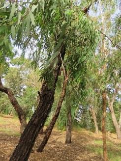Eucalyptus microtheca IMG_3011-002