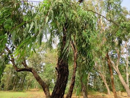 Eucalyptus microtheca IMG_3012-002
