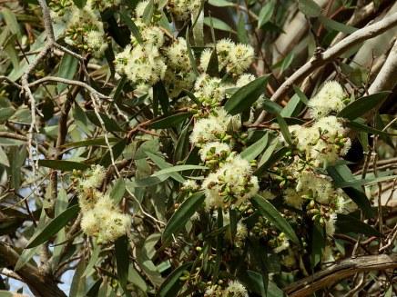 Eucalyptus polyanthemos IMG_2934-002