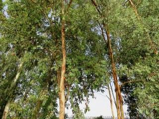 Eucalyptus polyanthemos IMG_2990-002