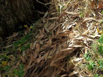 Eucalyptus resinifera IMG_2908-006