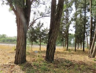 Eucalyptus resinifera IMG_2909-001 (3)