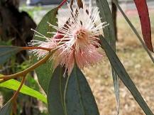 Eucalyptus torquata IMG_2937-002 (2)