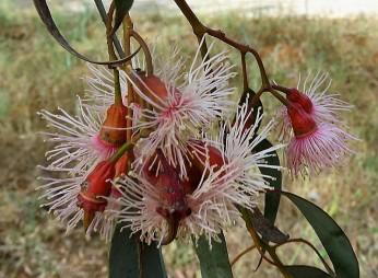 Eucalyptus torquata IMG_2940-002 (2)