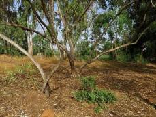 Eucalyptustranscontinentalis IMG_3000-002