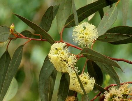 Eucalyptustranscontinentalis IMG_3002-004