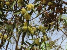 Eucalyptustranscontinentalis IMG_3005-002