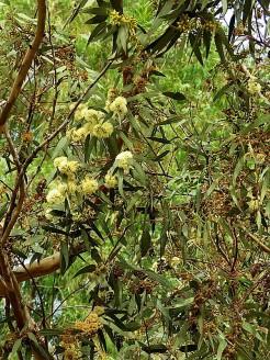 Eucalyptustranscontinentalis IMG_3006-002 (3)