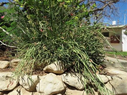 Euphorbiatithymaloides IMG_1410-001 (2)