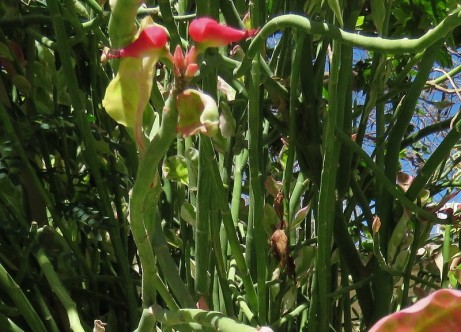 Euphorbiatithymaloides IMG_1411-004 (2)