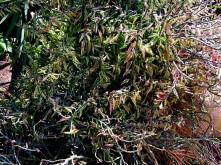 Euphorbiatithymaloides IMG_1413 (2)-001