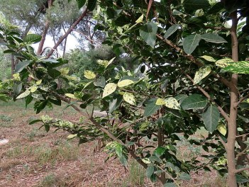 Ficus aspera IMG_3116-002