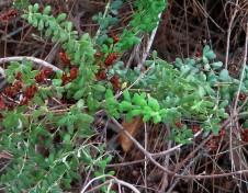 _Hypericum thymifolium IMG_2627-001 (2)