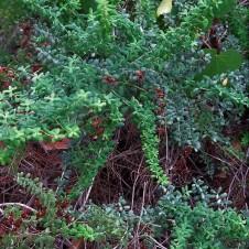 _Hypericum thymifolium IMG_2627 (2)