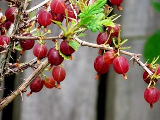 Kryjovn_Ribes uva-crispa_IMG_3193 (2)
