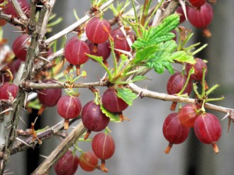 Kryjovn_Ribes uva-crispa_IMG_3194 (2)