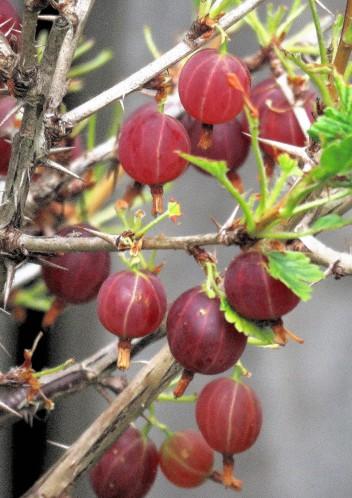 Kryjovn_Ribes uva-crispa_IMG_3194 (3)