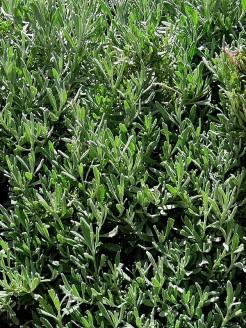 Lavandula angustifolia IMG_2680 (2)