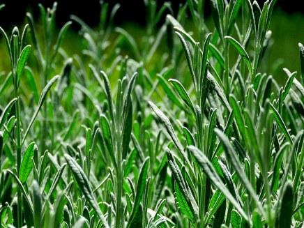 Lavandula angustifolia IMG_2681