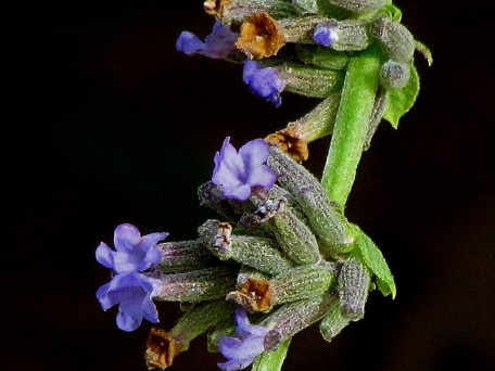 Lavandula latifolia IMG_6803-002 (2)