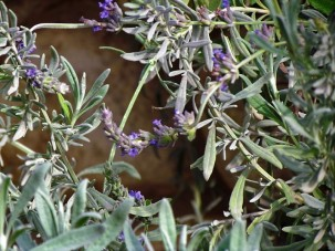 Lavandula latifolia IMG_6804 (2)